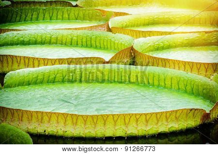 Closeup Of Water Lillies. Victoria Amazonica
