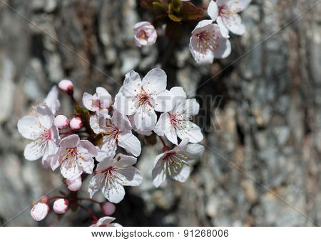 white cherry flowers in spring on tree bark background