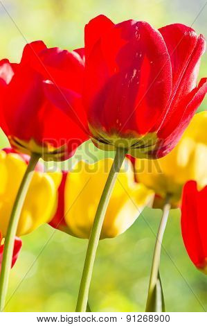 Tulips Backlit On A Blurred Background, Close Up