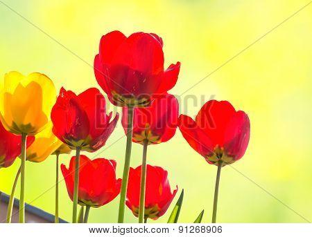 Tulips Backlit On A Blurred Background