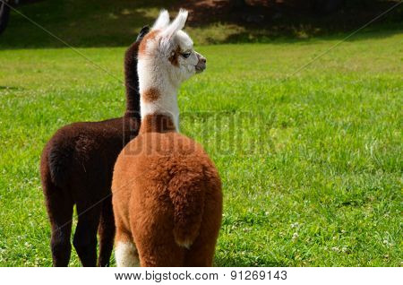 Baby Alpacas in the Meadow