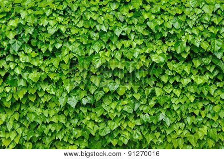 Spring green lush ivy leaves wall background