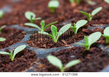 Grape seedlings