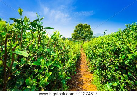 tea plantations under blue sky