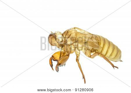 Cicada Slough Or Molt  Isolated On White Background