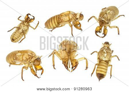 Set Of Cicada Slough Or Molt  Isolated On White Background
