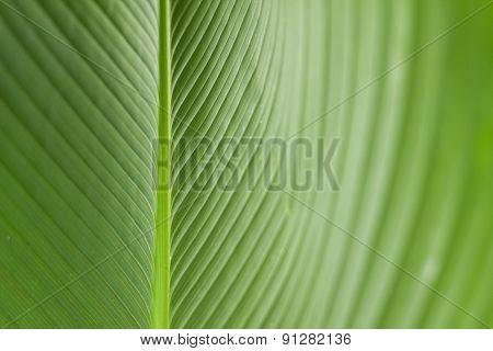 Habana cigae leaf