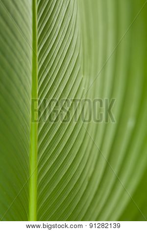 Habana Cigar leaf