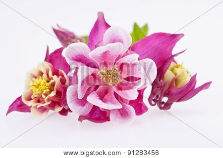 Purple Flowers Of Aquilegia Vulgaris