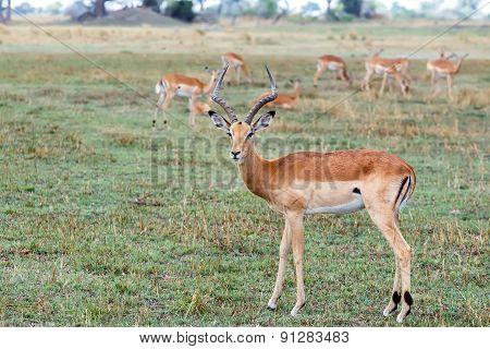 Impala Antelope, Namibia