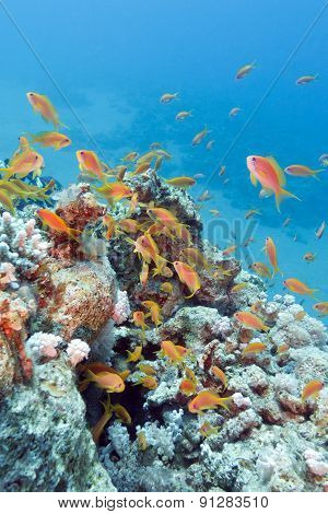 Coral Reef With Shoal Of Fishes Scalefin Anthias, Underwater