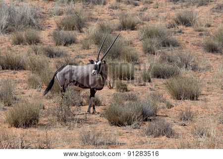 Close Up Portrait Of Gemsbok, Oryx Gazella