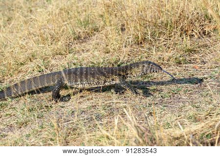 Monitor Lizard, Varanus Niloticus On Savanna