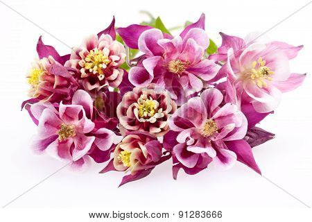 Bouquet Blooming Flowers Of Aquilegia Vulgaris