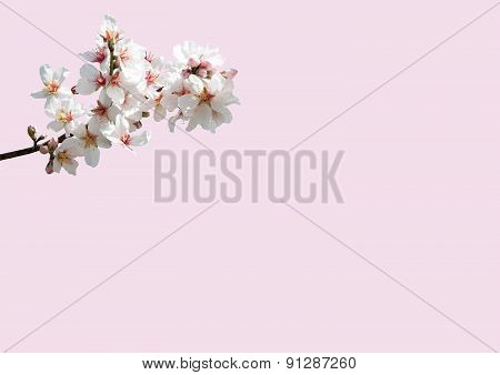White and pink spring flowers