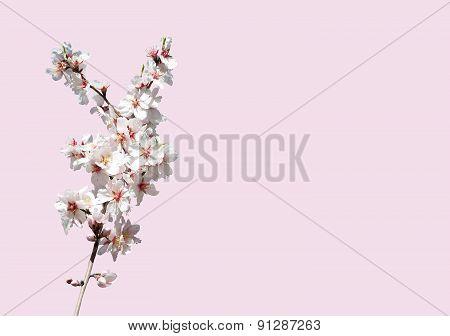 Almond blossom closeup