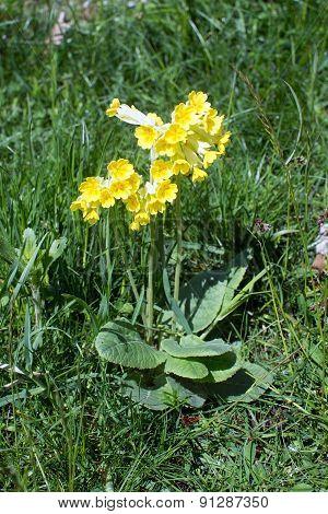 Primrose In Grass