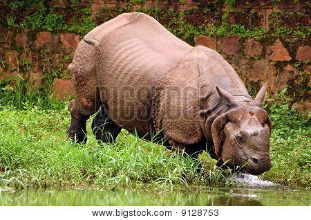 Rhino Bathing In River