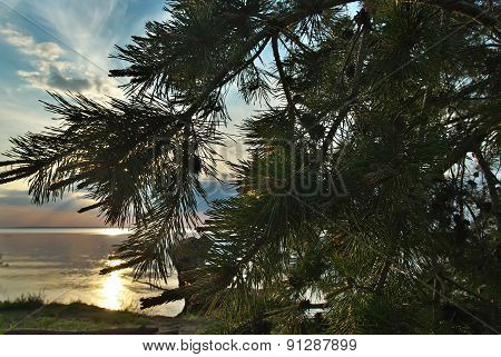 Pine Tree On The River Bank. A Place To Relax.