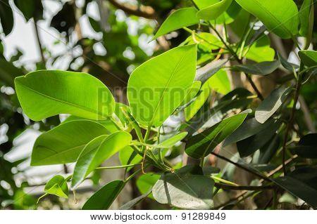 leafs (ficus rubiginosa)