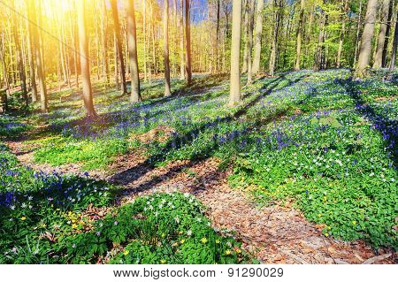 Spring Forest Covered By Bluebells