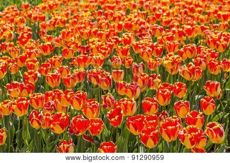 background bed covered with scarlet tulips