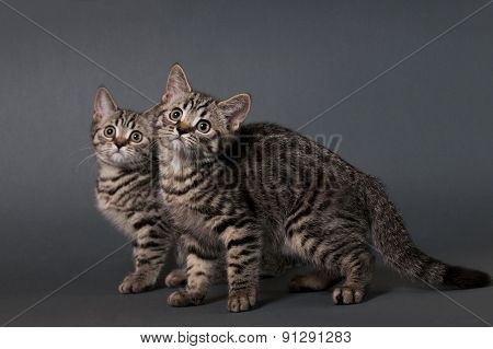 Two British Shorthair Kittens.