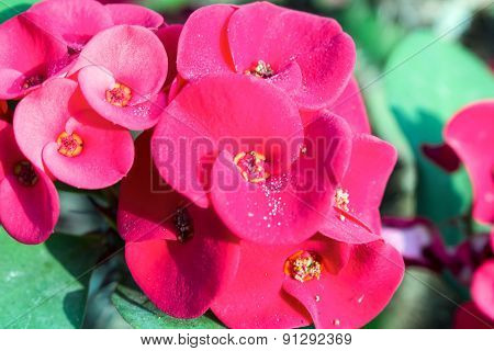 Crown Of Thorns Flowers Euphorbia Milli Desmoul Abstract Background