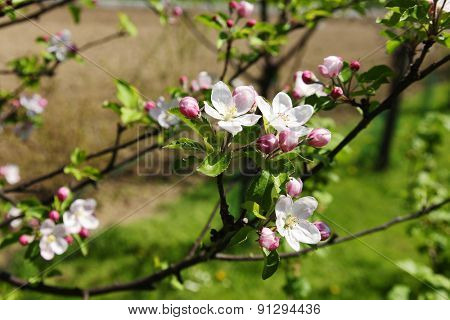 Blooming apple tree in spring time.