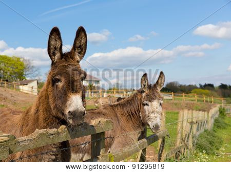 Donkeys standing by a fence in a field looking to camera with blue sky on a spring day