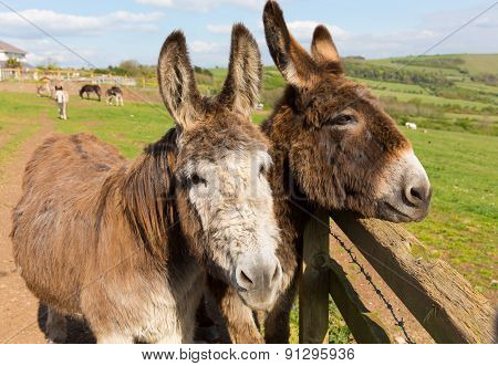Two donkeys by a fence in a field with faces close together on spring day