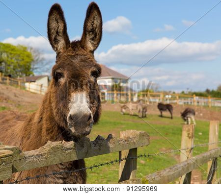 Donkey standing by a fence in a field looking to camera with blue sky on a spring day