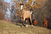 foto of running horse  - Batch of horses running in autumn together - JPG