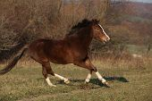 picture of pony  - Nice pony running on pasturage in autumn - JPG