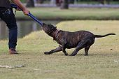 stock photo of pit-bull  - Pit Bull Terrier playing rope with the owner - JPG
