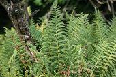 stock photo of fern  - Green ferns in woodland in England - JPG
