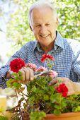 image of prunes  - Elderly man pruning geraniums - JPG