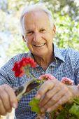 picture of geranium  - Elderly man pruning geraniums - JPG