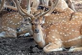 stock photo of zoo  - Herd of spotty deer in a zoo - JPG