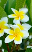 picture of plumeria flower  - white plumeria flowers closeup  - JPG