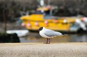 pic of anglesey  - A black headed gull on a wall next to a beach on Anglesey Wales  - JPG