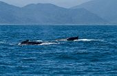 pic of gentle giant  - Beautiful humpback whales in the coast of Ecuador - JPG