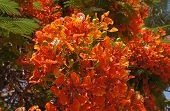 stock photo of angiosperms  - Delonix Regia tropical tree in full bloom - JPG