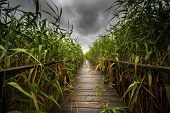 foto of trough  - Wooden path trough the reed outdoors at summer - JPG