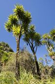 image of australie  - The cabbage tree is one of the most distinctive trees in the New Zealand landscape - JPG