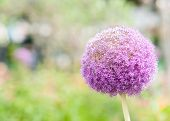 stock photo of monocots  - Blue onion flower against blurry nature background - JPG