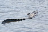 picture of alligators  - Alligator on the banks of a river - JPG