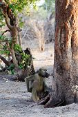 picture of anubis  - family of Chacma Baboon  - JPG
