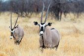 foto of antelope horn  - close up portrait of Gemsbok Oryx gazella dominant Gemsbok antelope in the park Etosha Namibia - JPG