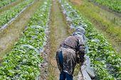 image of japanese woman  - An elderly Japanese woman working in her field - JPG